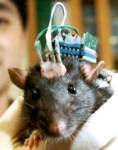 rat_implant (7k image)